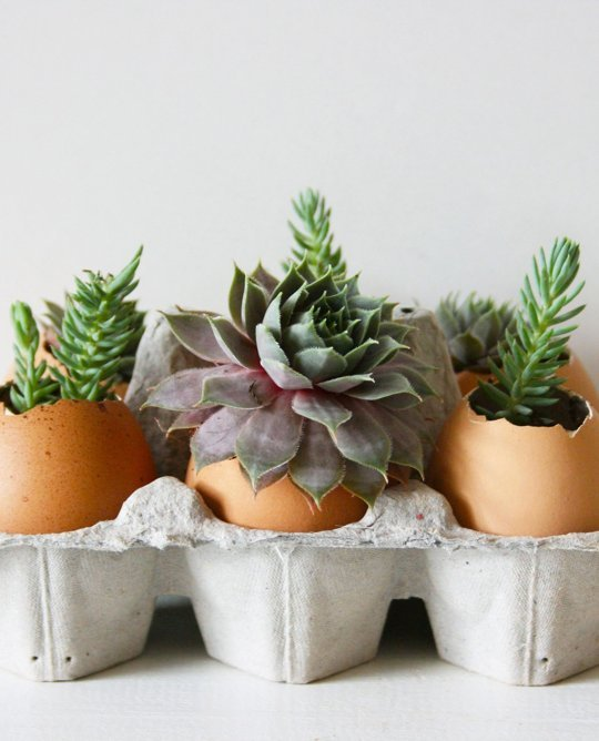 Succulents planted in eggshells